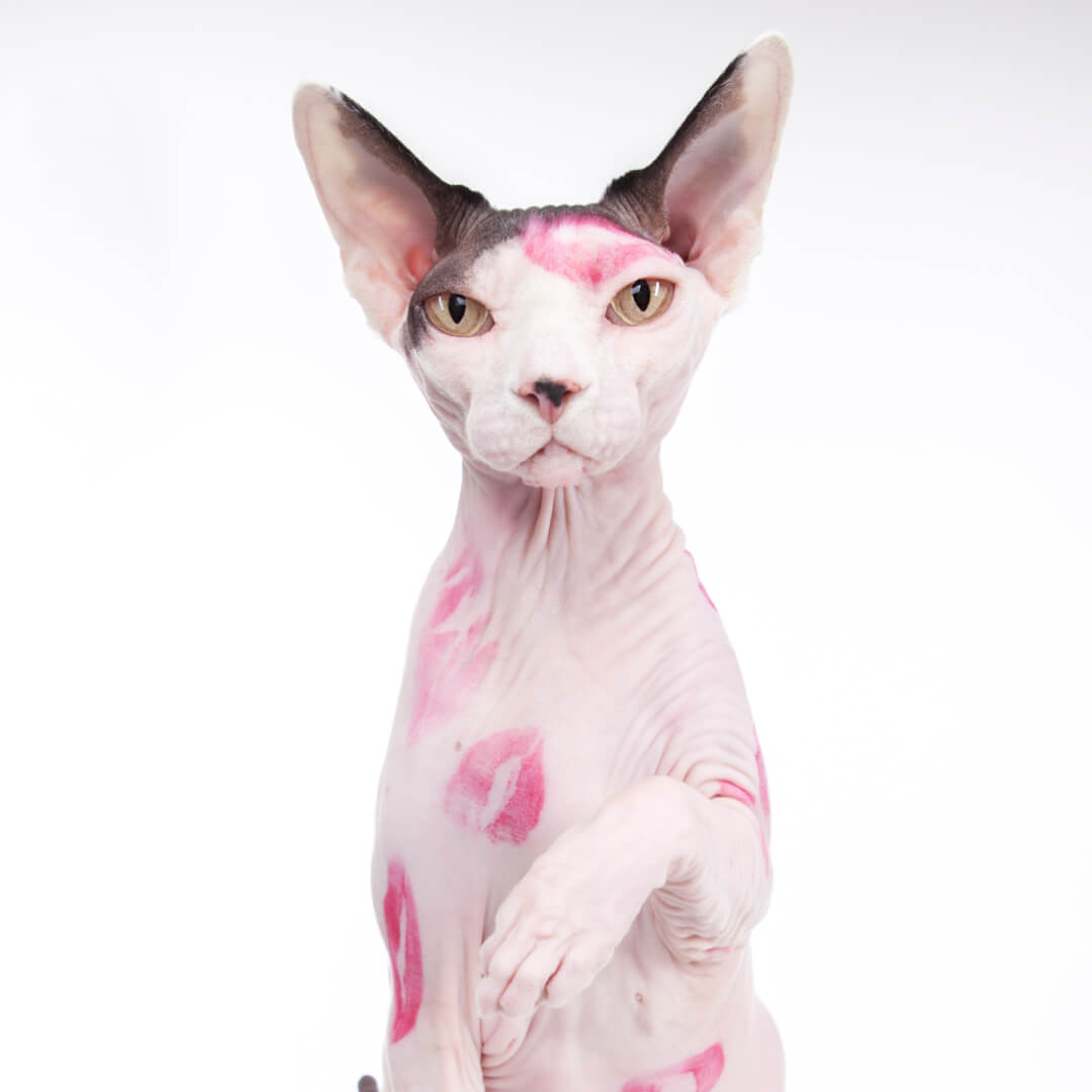 sphynx-cat-clothes-home-kisses-sphynx-cat-wear